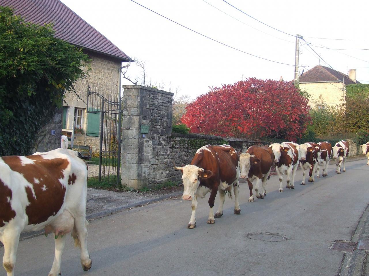 Kühe unterwegs