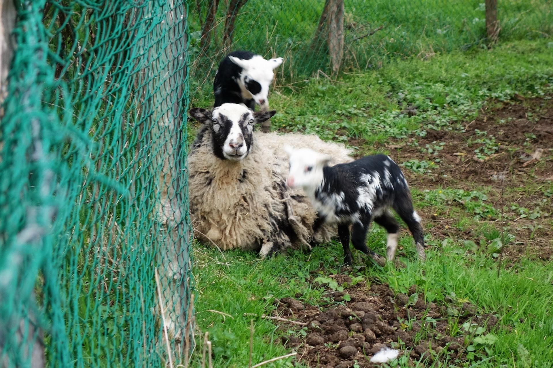 Famille mouton